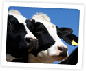Photo of: Cows with blue sky behind