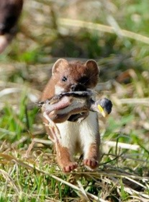 Image of a stoat with a chick. Photo: David Hallett