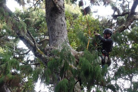 Jason climbing rimu tree