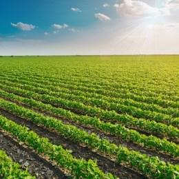 Image of a vegetable crop growing