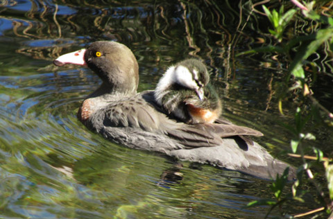 Whio adult and duckling.