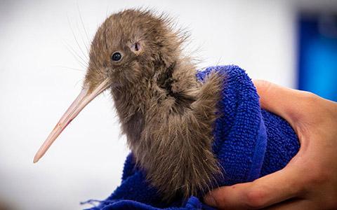 Kiwi chick.
