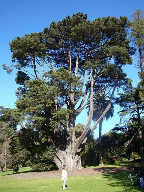 Monterey Cypress (Hesperocyparis macrocarpa)
