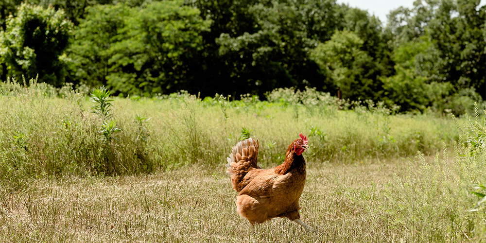 Chicken Change: A Look at the Increased Demand for Pasture-Raised Eggs