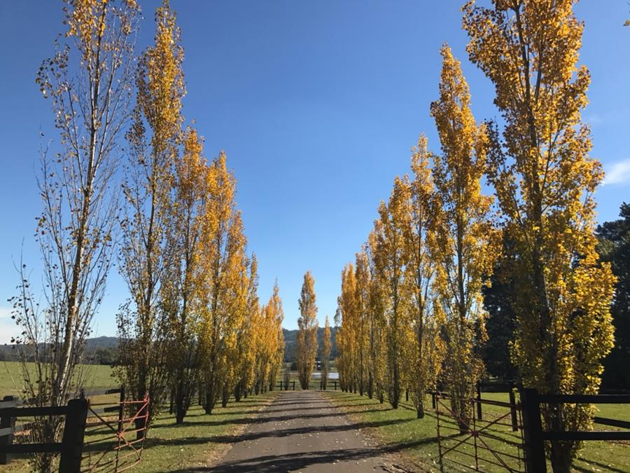 Long driveway lined with poplar trees, in autumn colours, in the NSW Southern Highlands.