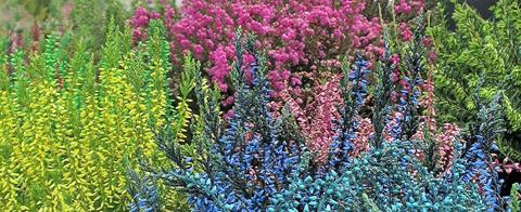 Arrington Garden Centre Coloured Heathers