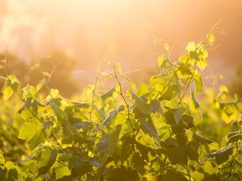 Vineyards at Roche Estate
