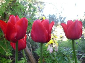 Tulips in the centre's garden