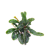 Dennerle Bucephalandra spec. 'Wavy Leaf'