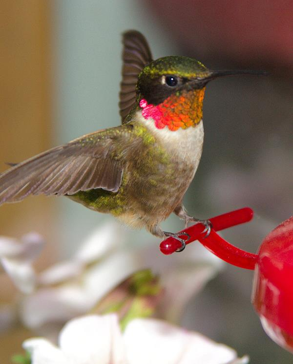 A ruby-throated hummingbird perched on a feeder