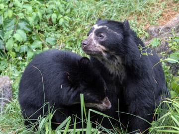 Spectacled Bears. © Andrea Izzotti/ Shutterstock.com.