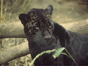 Black Jaguar. Photograph copyright free by Ron Singer (US Fish and Wildlife Service).