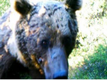 Syrian Brown Bear. © FPWC.