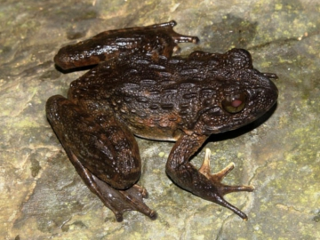Granular Spiny Frog (Quasipaa verrucospinosa). © Vietnature Conservation Centre.