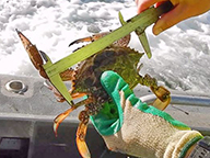 A female blue swimmer crab being measured with a crab gauge