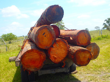 Confiscated logs. © Programme for Belize.