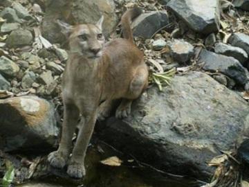 Puma photographed by remote camera. © Fundación Jocotoco.