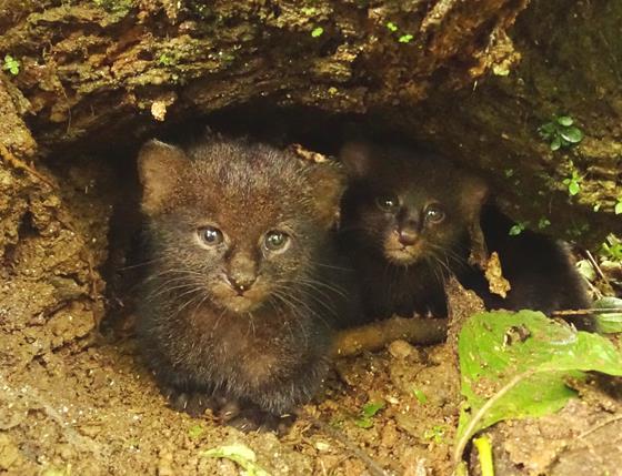 Jaguarundi kittens. © Francisco Sornoza.