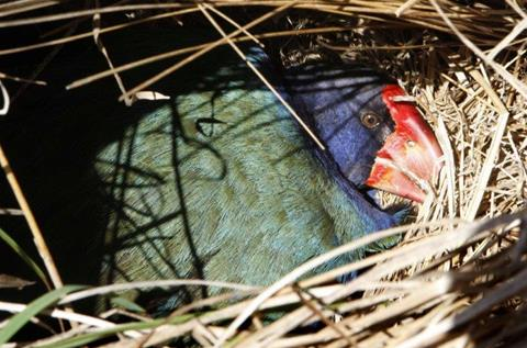 Takahē on nest. Photo by DOC