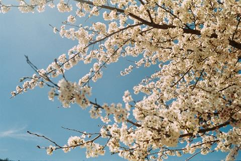 Flowering tree and sky