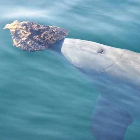 A dolphin sponge-feeding
