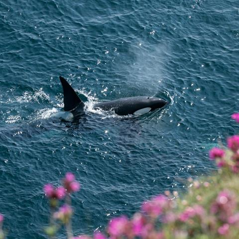Orca off the coast of Scotland