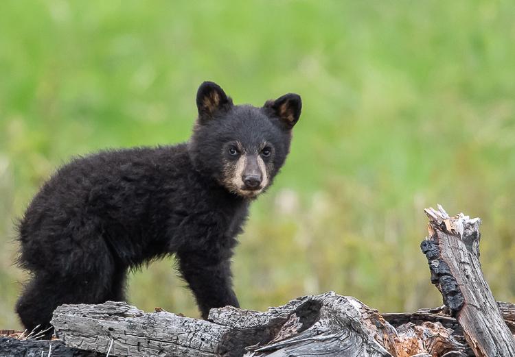 Jackson Hole Photography Tours - Bear Cub