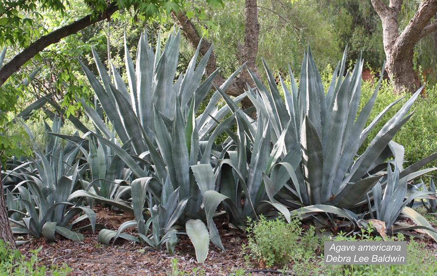 Agave americana with pups